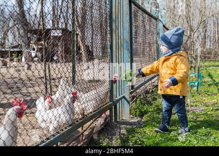 El niño alimenta a los pollos a través de la rallera en el jardín de primavera