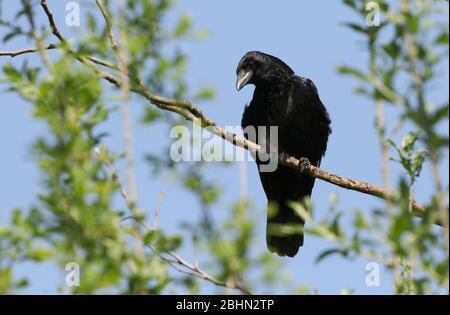 Un cuervo Carrión, corvus corone, encaramado en una rama de un árbol.