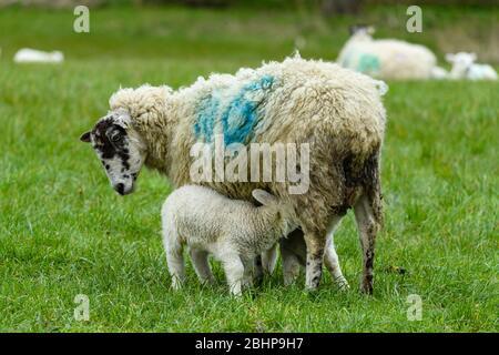 1 oveja de mula y 2 corderos pequeños de cerca, de pie en la granja de césped en la primavera (la alimentación de la descendencia hambrienta y la madre mirando hacia abajo) - Inglaterra, GB, Reino Unido.