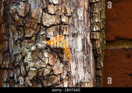 A Comma Butterfly (álbum de Polygonia)