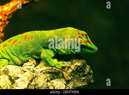 verde macho gigante día gecko lagarard.es una especie diurna de gecko. Vive en la costa oriental de Madagascar y típicamente habita en bosques tropicales y dw