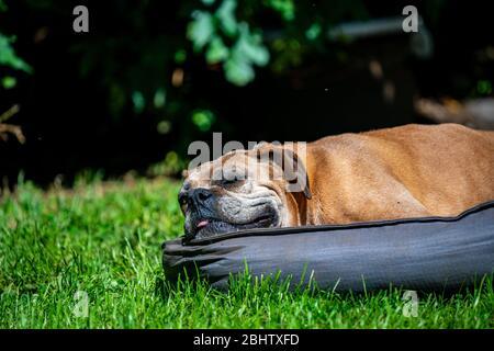 muy feliz perro boxer femenino viejo acostado en su cama sobre hierba verde en un día soleado cálido