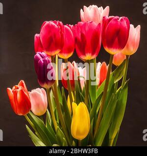 Tulipanes en un ambiente de estudio sobre un fondo.