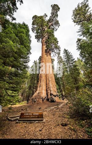 Vista en el gigantesco árbol Sequoia, llamado General Grant, en el Parque Nacional Sequoia, California USA