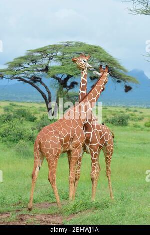 Dos jirafas reticuladas que se necking en la reserva de Buffalo Springs, Samburu, Kenia Foto de stock