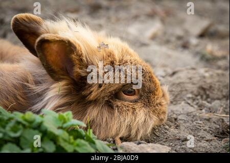 Un conejo enanos marrón lindo (cabeza de leones) descansando en el suelo en el jardín