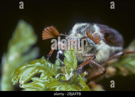 Cockchafer común, maybug, Maybeetle (Melolontha melolontha), alimentándose en roble, Alemania