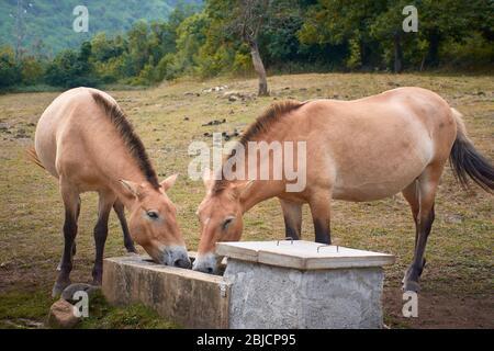 Dos caballos marrones bebiendo agua