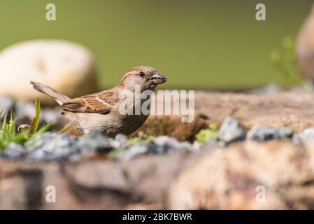 Una Sparrow de la Casa ( Passer domesticus ) hembra que toma una bebida de agua en el reino unido
