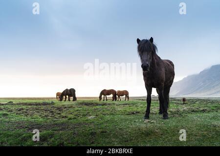 Caballos islandeses están muy criaturas únicas de Islandia. Es más probable que esos caballos ponies sino bastante más grande y son capaces de sobrevivir