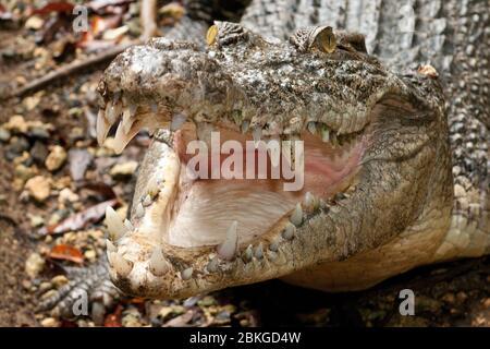 Leistenkrokodil, Salzwasserkrokodil (Crocodylus porosus) faucht und reißt Maul auf, Australien