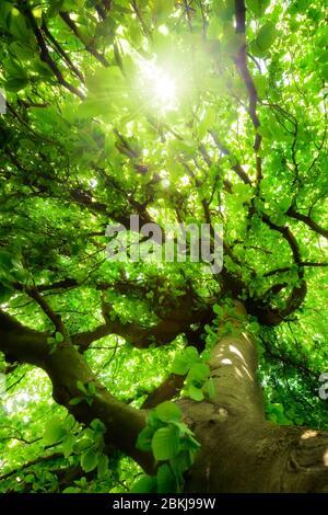 Los gusanos ven a un árbol de haya verde con hermosas ramas torcidas, follaje vibrante y el sol brillando a través de ellos Foto de stock