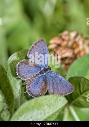 Vista dorsal de una diminuta mariposa macho de cola oriental azul descansando sobre su planta huésped, trébol Foto de stock