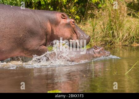 Hippo, Hippopotamus amphibius, Murchison Falls National Park, Uganda
