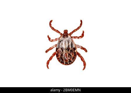 Garrapata aislada sobre fondo blanco. Tick es el nombre común de los pequeños arácnidos en la superfamilia Ixoidea que, junto con otros ácaros, constituyen