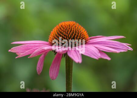 Flor de una flor de conefina (equinácea) en rosa