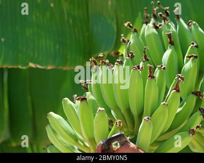 Plátanos verdes jóvenes en Musa x paradisiaca, postre plátano, de cerca