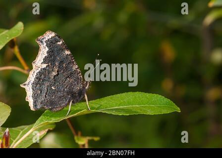 Una mariposa de luto, Nymphalis antiopa, encaramada en una hoja en un bosque central de Alberta. Foto de stock