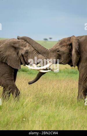 Dos elefantes africanos machos (loxodonta africana) luchan y se empujan unos a otros con sus troncos