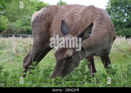Ciervo rojo hembra comiendo Nettles