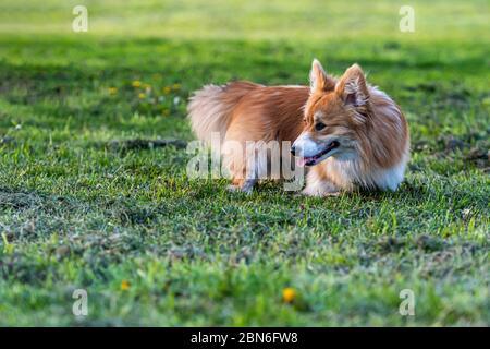 Lindo corgi Pembroke tumbado en hierba verde alta, día soleado