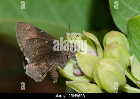 Confuso Cloucywing, Thorybes confusis, nectaring en verde milkweed, Asclepias viridis Foto de stock