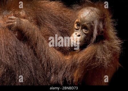 Orangután borneano (pongo pygmaeus pygmaeus), hembra con cachorro, Indonesia, Borneo