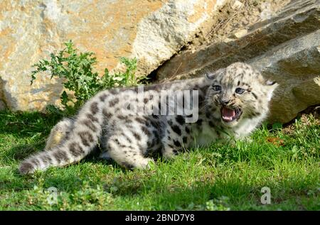 Leopardo de nieve (Panthera uncia) cautivo en el Zoo la Boissiere du Dore, Francia.