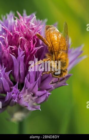 Abeja cordobesa italiana (Apis mellifera ligustica2, subespecie de las abejas melíferas occidentales (Apis mellifera) recolectando néctar de cebollino florido, Belgiu