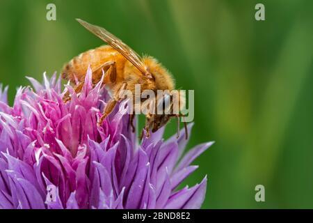 Abeja cordobesa italiana (Apis mellifera ligustica), subespecie de las abejas melíferas occidentales (Apis mellifera) recolectando néctar de cebollino florido, Belgiu