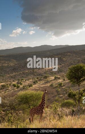 Giraffe reticulada (Giraffa camelopardalis reticulata) en la ladera con cielo cubierto. Laikipia, Kenia. Febrero.