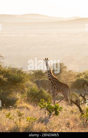 Giraffe reticulada (Giraffa camelopardalis reticulata) en un hábitat árido de matorrales al amanecer. Laikipia, Kenia. Febrero.