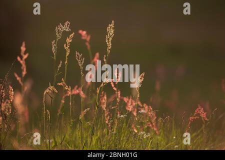Flores comunes de la aurel (Rumex acetosa), Hampstead Heath, Londres, Inglaterra, Reino Unido. Mayo.