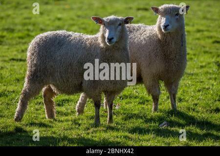 Ovejas de León Cotswold (Ovis Aries) - una raza rara nativa de Gloucestershire traída por colonos romanos a los Cotswolds, Reino Unido. Noviembre.