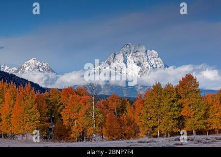 WY04332-00...WYOMING - Bosque de álamos en color de otoño con el Monte Moran en la distancia en el Parque Nacional Grand Teton.
