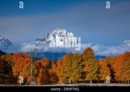 WY04334-00...WYOMING - Bosque de álamos en color de otoño con el Monte Moran en la distancia en el Parque Nacional Grand Teton.