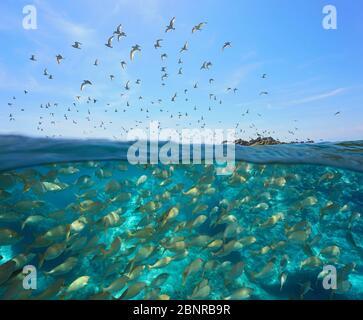 Colonia de gaviotas volando en el cielo y una escuela de peces bajo el agua, vista dividida sobre y bajo la superficie del agua, mar Mediterráneo, España, Costa Brava