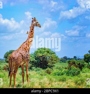 Jirafa de pie en hierba alta en el Parque Nacional Tsavo este, Kenia. Tiene pájaros pequeños en el cuello. Escondiéndose a la sombra bajo los árboles altos. Es un salvaje