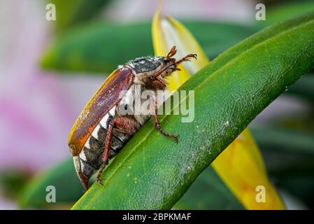 Cockchafer común / maybug (Melolontha melolontha) en la hoja de la planta en el jardín en primavera