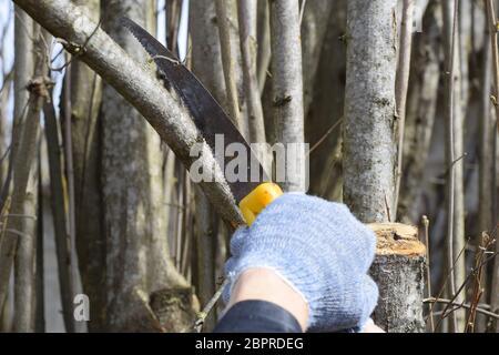 Corte de una rama de árbol con una mano jardín vio. La poda de árboles frutales en el jardín.