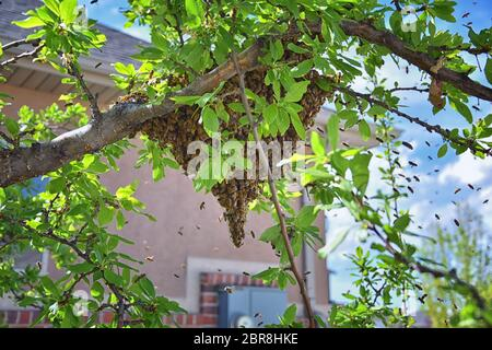 Enjambre de abejas de miel, un insecto eussocial que vuela dentro del género Apis mellifera del clado de la abeja. Enjambre Carniolan abeja italiana en un sujetador de ciruela