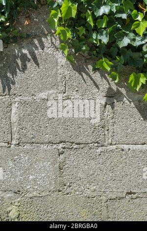Hiedra trepadora / Hiedra común - Hedera hélice en sol creciendo en un lado de una pared de ladrillo. Concepto de hiedra creepante, días soleados de verano, granja.