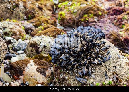 gran afloramiento de mejillones en rocas en la zona intermareomaen marea baja