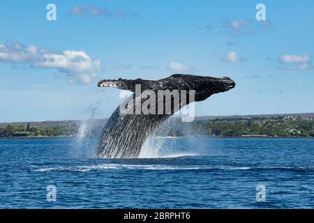 Ballena jorobada, Megaptera novaeangliae, breaching, Kihei, Maui, Hawaii, Hawaii Humpback Whale National Marine Sanctuary, USA ( Océano Pacífico Central )