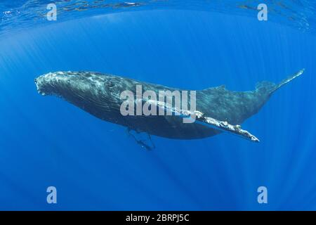 Ballena jorobada, Megaptera novaeangliae, Maui, Hawaii, Hawaii Humpback Whale National Marine Sanctuary, USA ( Océano Pacífico Central )