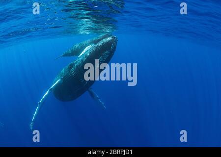 Ballenas jorobadas, Megaptera novaeangliae, madre y becerro, Maui Occidental, Hawaii, Hawaii Humpback Whale National Marine Sanctuary, USA ( Pacífico Central )