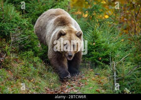 De cerca oso marrón grande en el bosque. Animal peligroso en el hábitat natural. Escena de la fauna silvestre