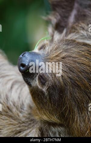 Slath de dos dedos del sur - Choloepus didactylus, mamífero tímido y hermoso de los bosques sudamericanos, Brasil.