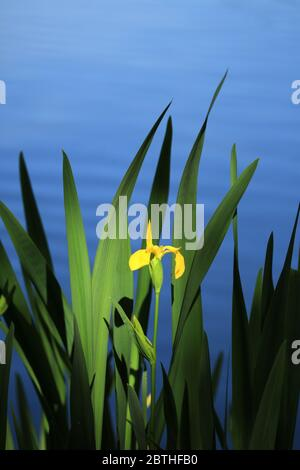 Iris amarillo (iris pseudacorus) creciendo en un lago inglés.