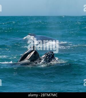Ballena jorobada alimentándose en plancton traída por la corriente de Benguela, Océano Atlántico, Sudáfrica.